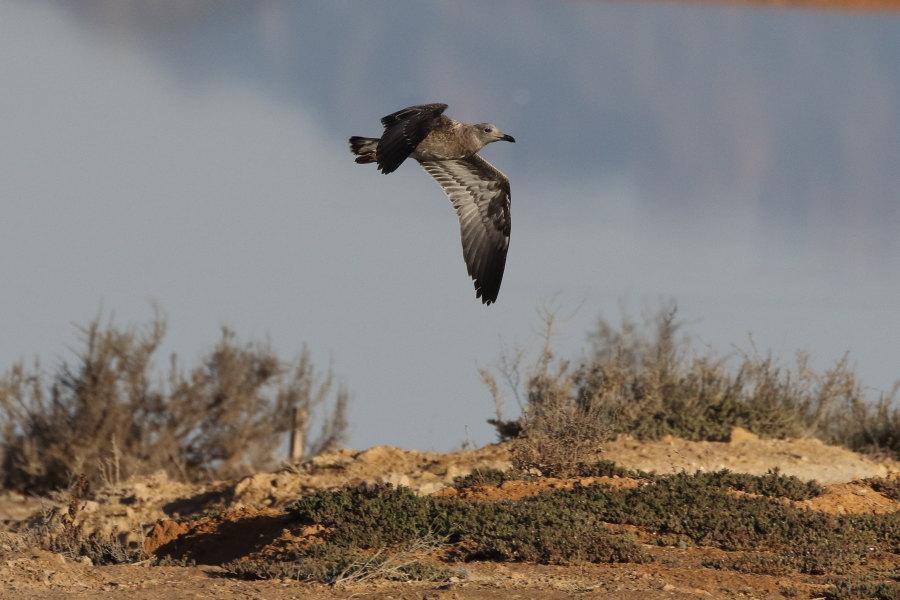 Joven de gaviota de Audouin en la laguna de Torrevieja (S. Arroyo)